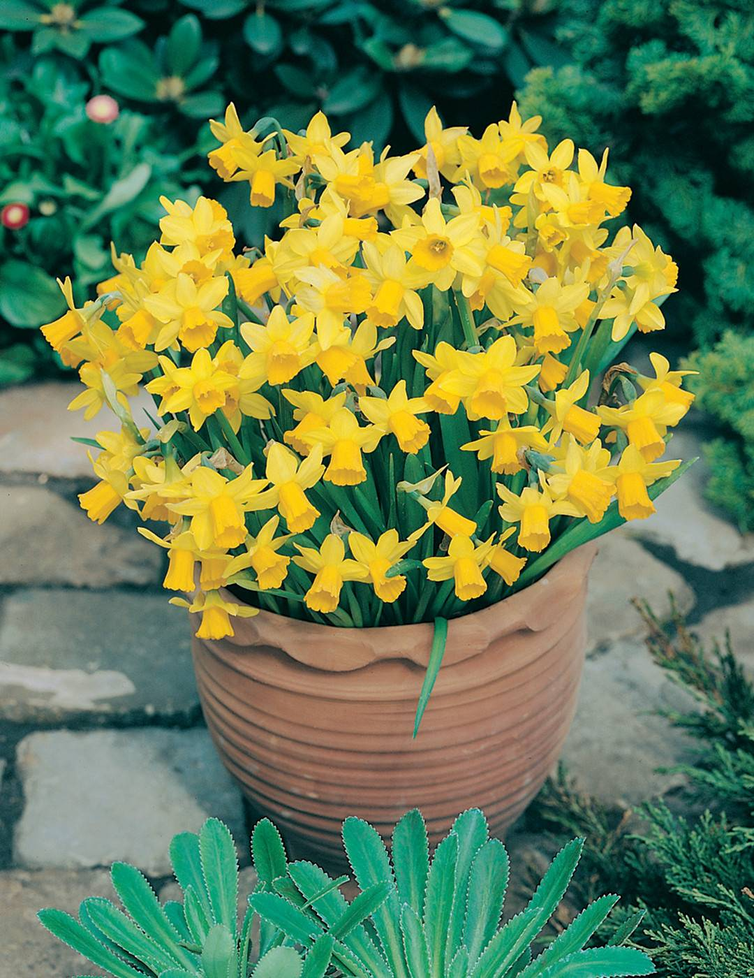 daffodil-tete-a-tete